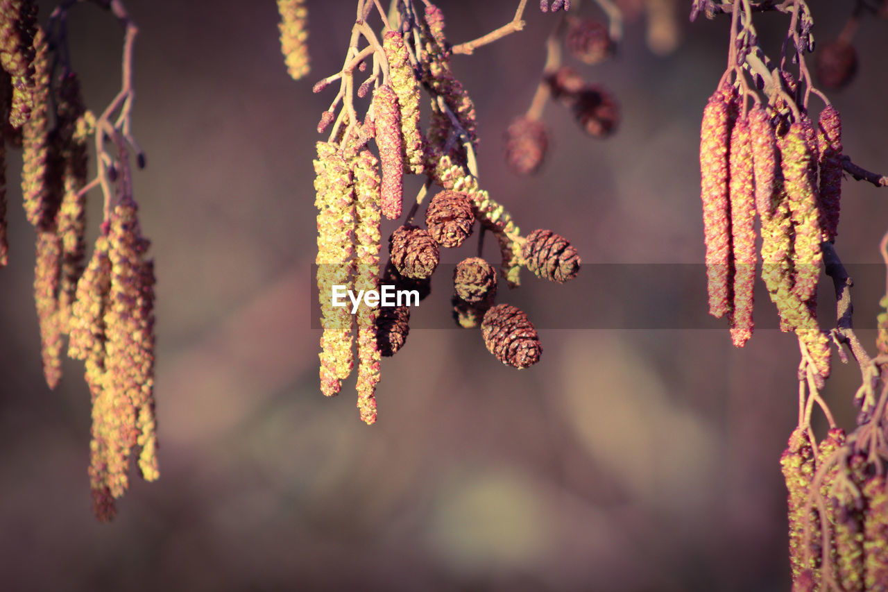 hanging, focus on foreground, plant, close-up, no people, pussy willow, day, nature, beauty in nature, growth, tree, outdoors, vulnerability, tranquility, selective focus, fragility, food, flower, flowering plant, food and drink, coniferous tree