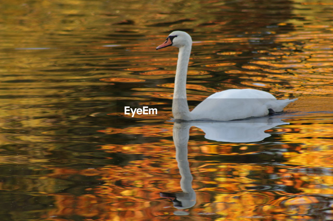 animal themes, animals in the wild, animal wildlife, bird, animal, vertebrate, water, lake, waterfront, swimming, one animal, water bird, day, no people, nature, beauty in nature, white color, reflection, swan, floating on water, animal neck, cygnet