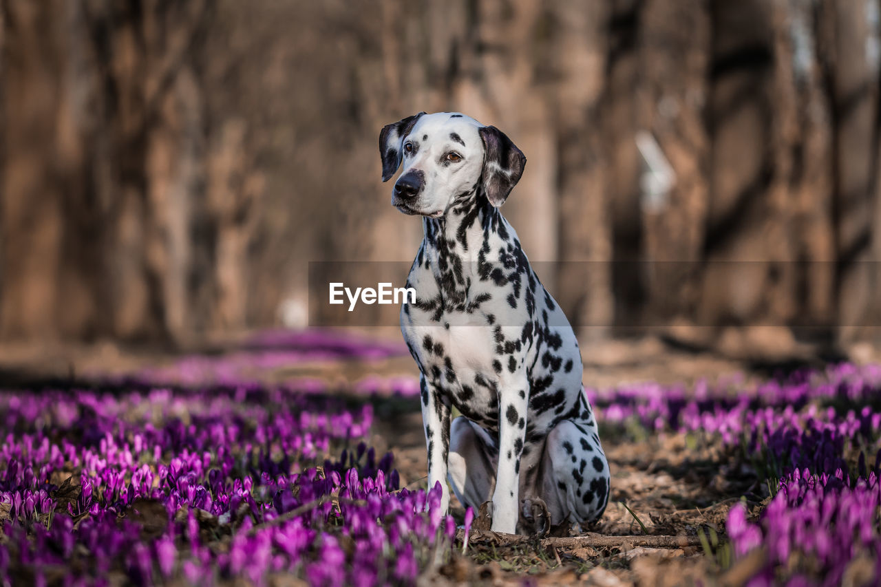 Dalmatian Dog Sitting On Purple Flowers