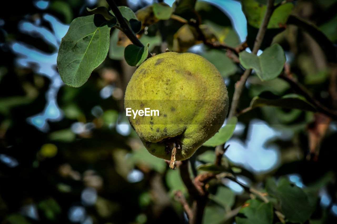 fruit, growth, leaf, green color, nature, tree, no people, plant, beauty in nature, outdoors, day, focus on foreground, food and drink, close-up, freshness, food, water