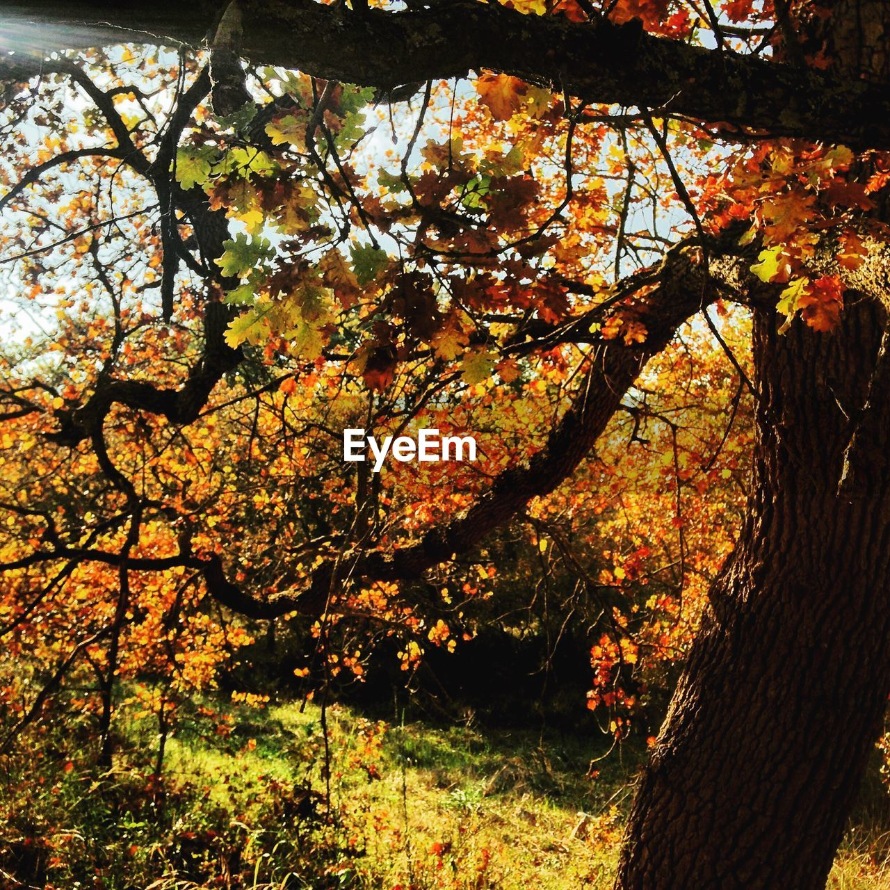 tree, branch, autumn, growth, nature, beauty in nature, no people, tree trunk, outdoors, change, leaf, day, tranquility, scenics, tranquil scene, maple tree, low angle view, close-up, fragility, maple, freshness