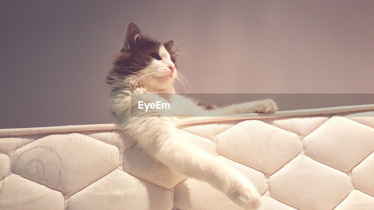 domestic, mammal, pets, domestic animals, one animal, cat, domestic cat, feline, vertebrate, indoors, no people, relaxation, home interior, white color, furniture, sofa, resting, whisker