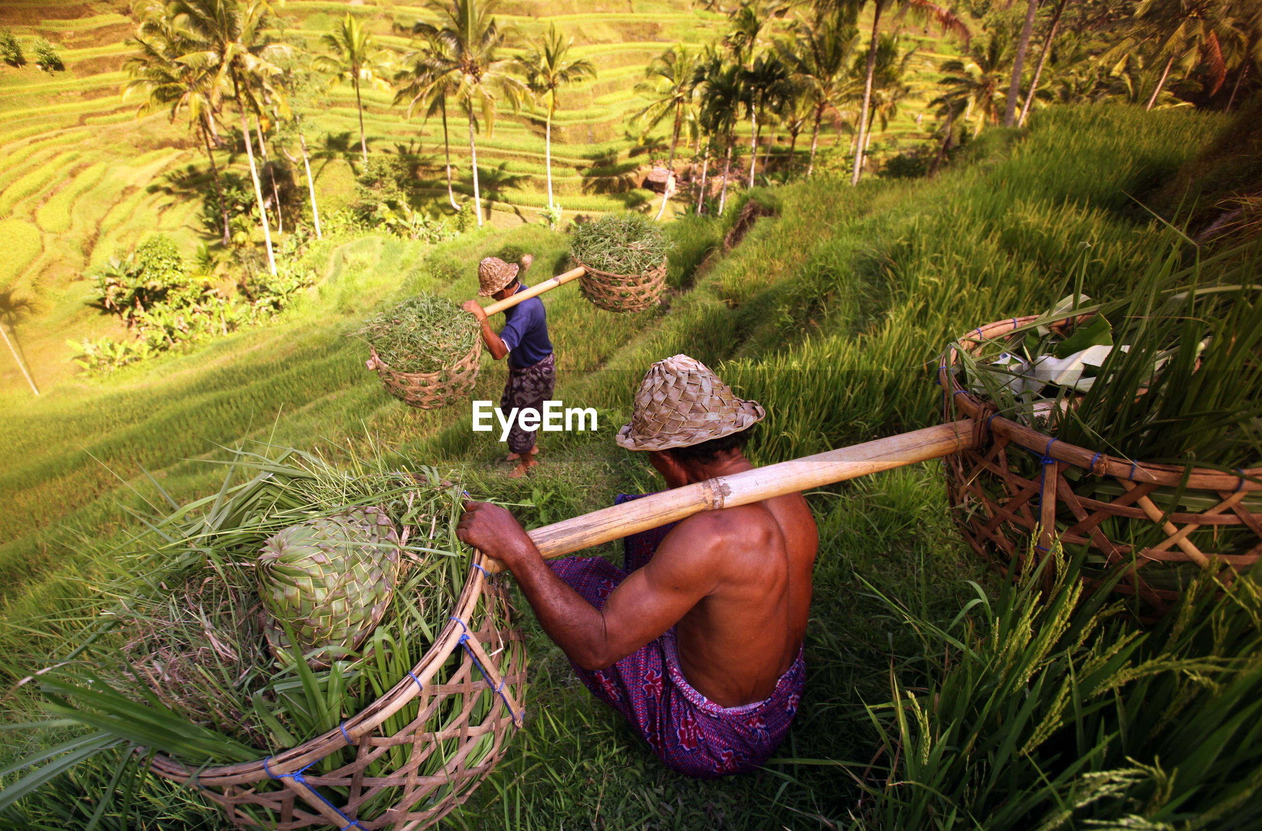 High angle view of farmers walking on rice paddy field