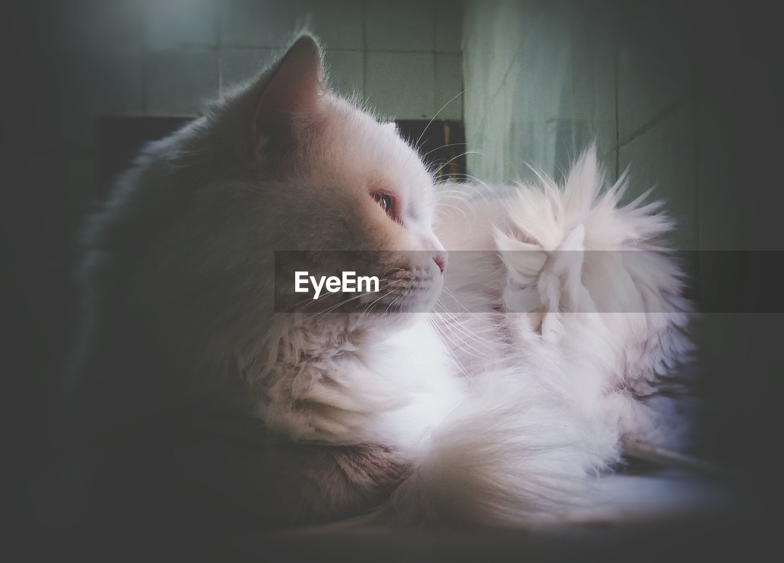 Close-up of white cat relaxing on table at home