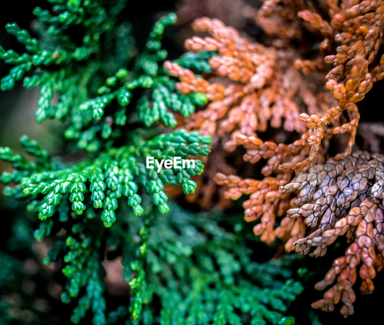 green color, close-up, selective focus, no people, plant, day, growth, nature, focus on foreground, beauty in nature, tree, pine tree, coniferous tree, outdoors, pinaceae, branch, needle - plant part, plant part, leaf, food, fir tree