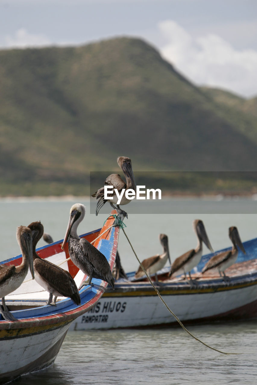 Pelicans perching on moored boats in sea against mountains