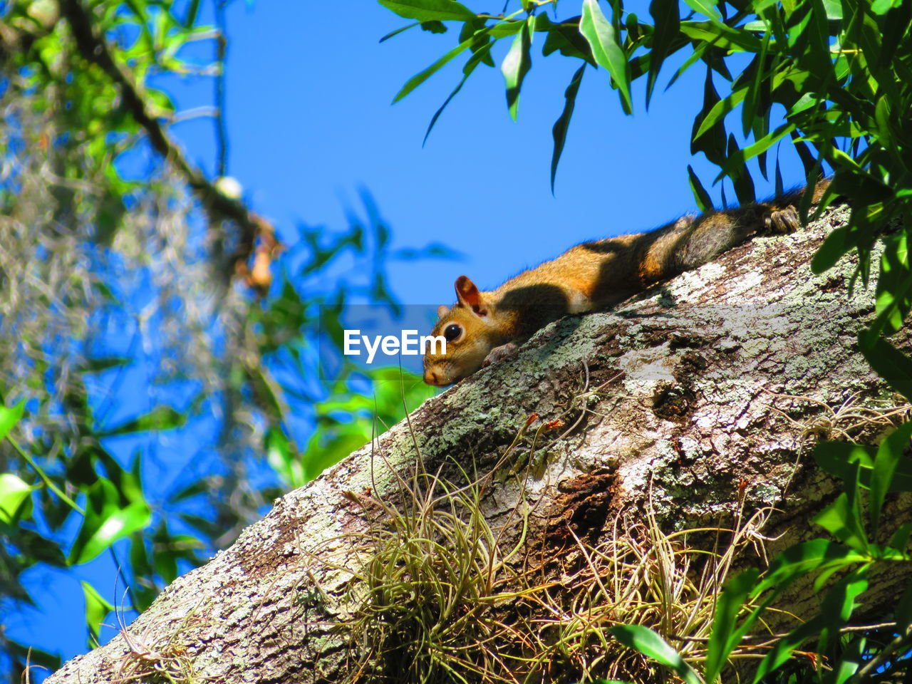 tree, animal, animal themes, animal wildlife, plant, animals in the wild, one animal, vertebrate, branch, tree trunk, trunk, nature, no people, mammal, low angle view, day, squirrel, rodent, selective focus, outdoors
