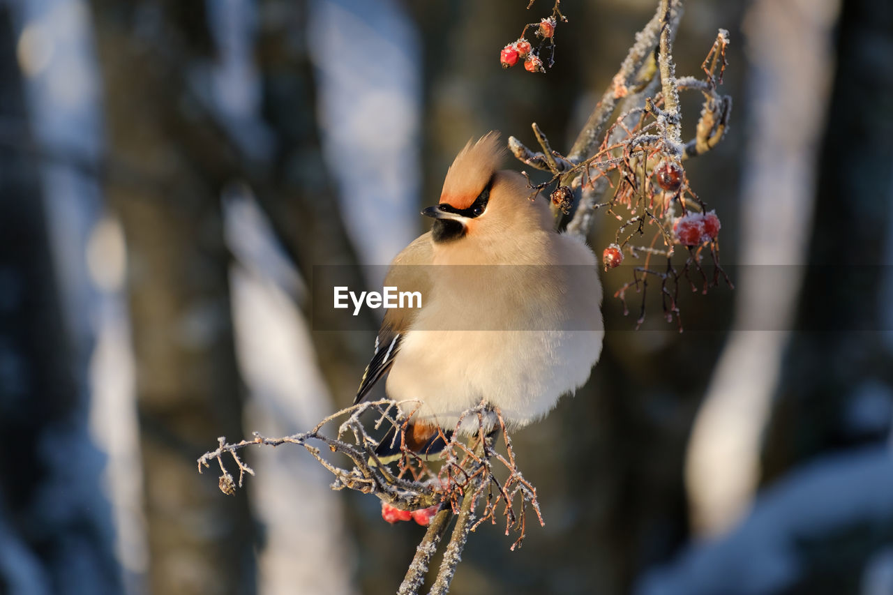 bird, vertebrate, animal themes, animal, perching, animals in the wild, animal wildlife, focus on foreground, one animal, close-up, day, branch, tree, nature, no people, selective focus, plant, outdoors, beauty in nature, twig