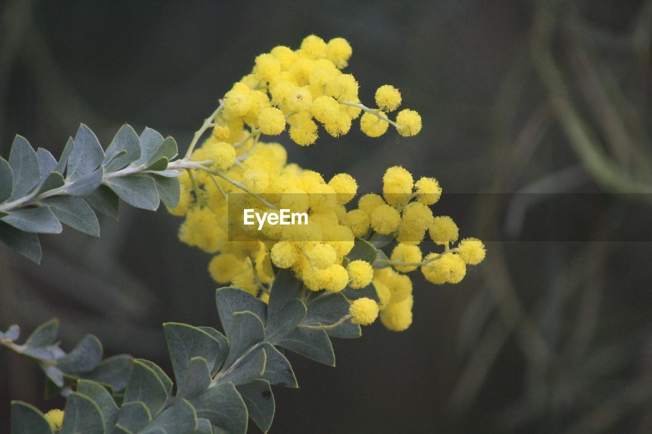 plant, growth, beauty in nature, yellow, flower, vulnerability, close-up, flowering plant, fragility, freshness, leaf, plant part, nature, day, petal, focus on foreground, inflorescence, no people, selective focus, flower head, outdoors, springtime, lantana, bunch of flowers