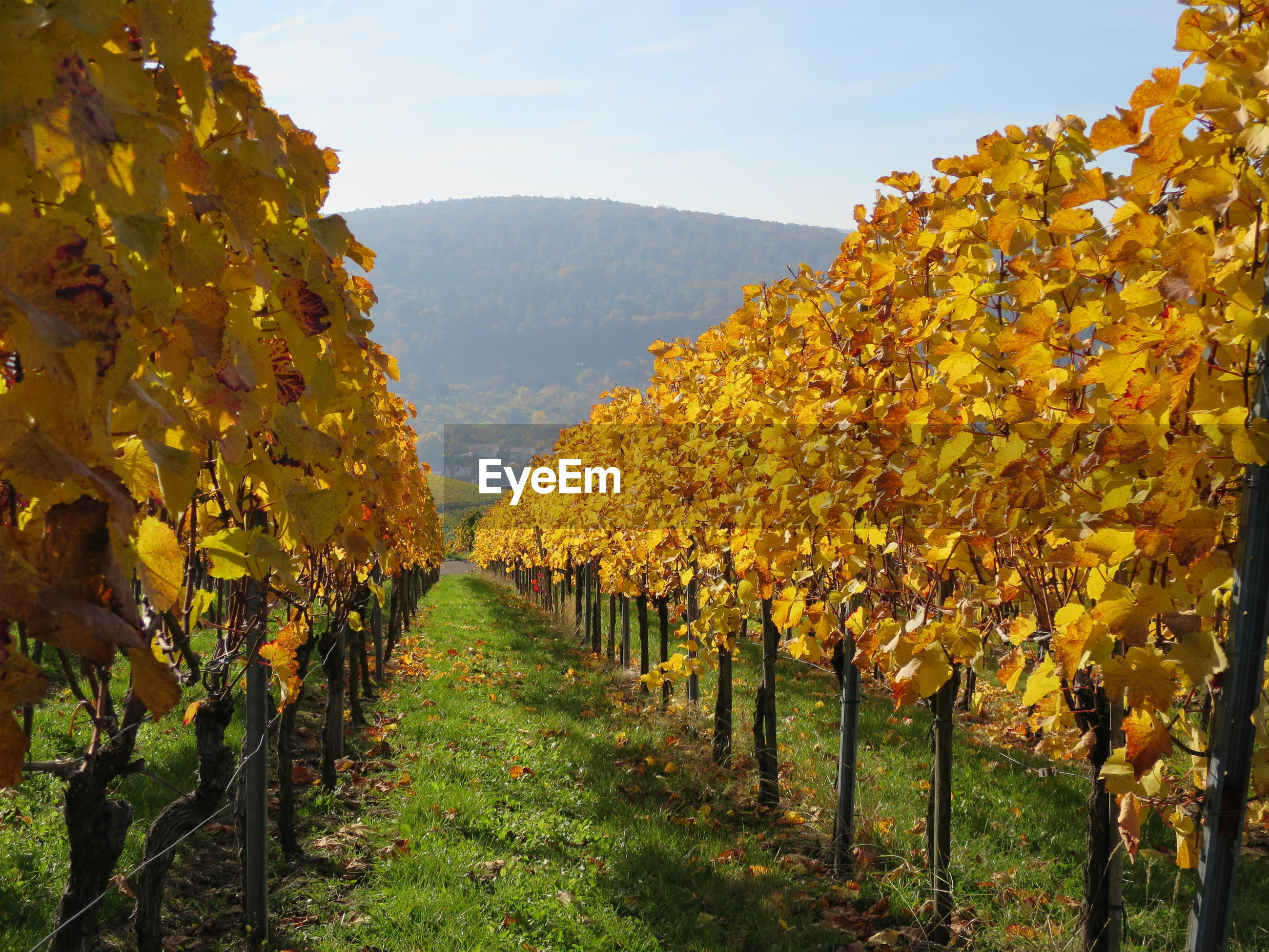 VIEW OF VINEYARD AGAINST SKY DURING AUTUMN