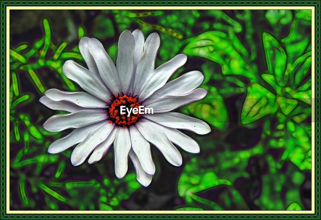 flower, petal, nature, growth, plant, freshness, beauty in nature, flower head, fragility, blooming, outdoors, no people, close-up, day, osteospermum