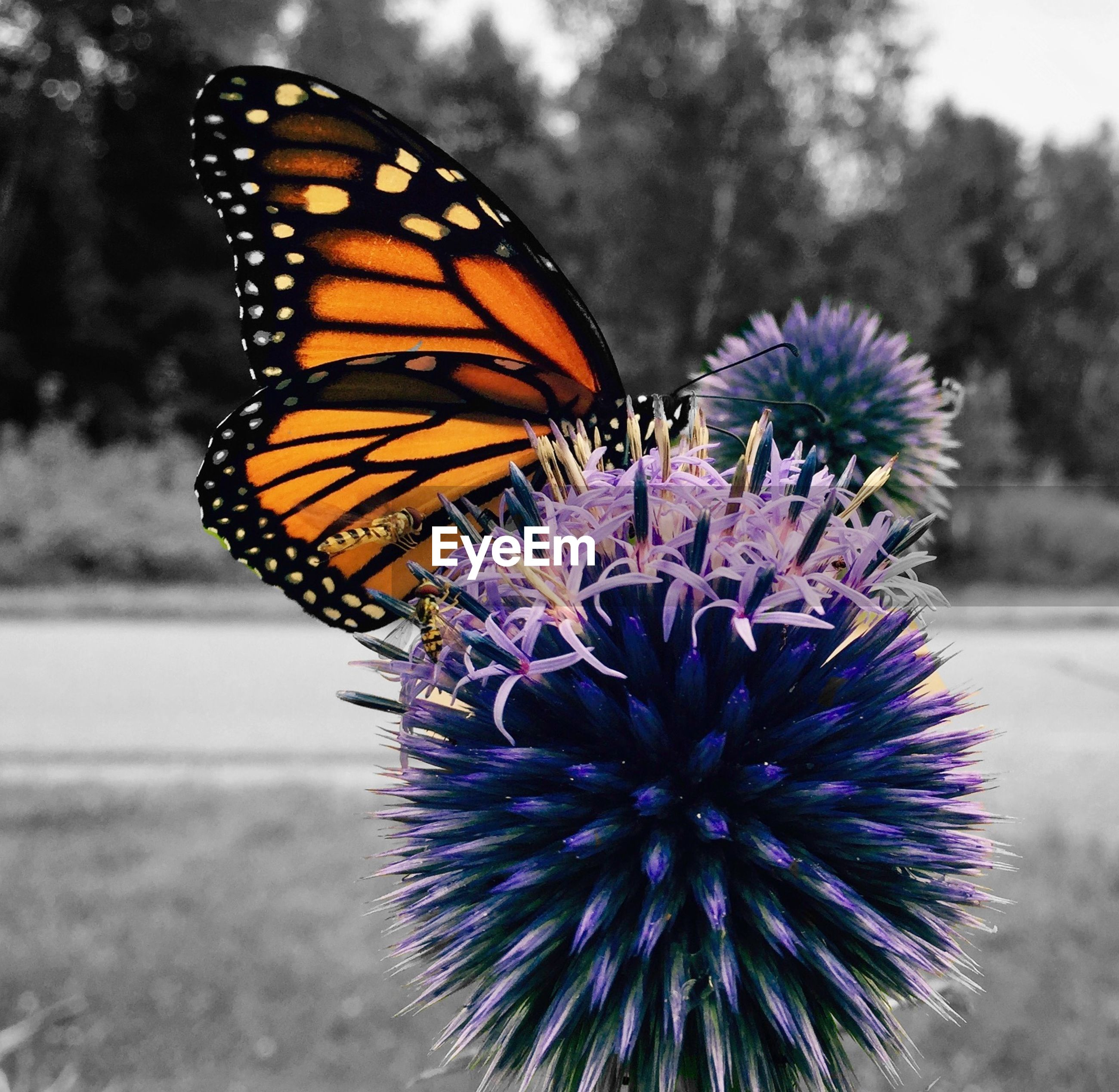 Close-up of monarch butterfly perching on purple thistle on field