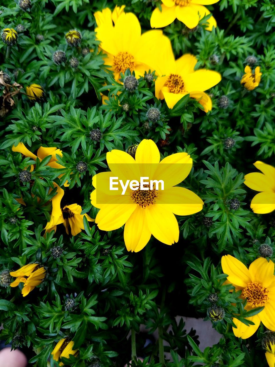 flower, yellow, fragility, petal, beauty in nature, flower head, growth, nature, freshness, plant, blooming, outdoors, no people, day, close-up, black-eyed susan