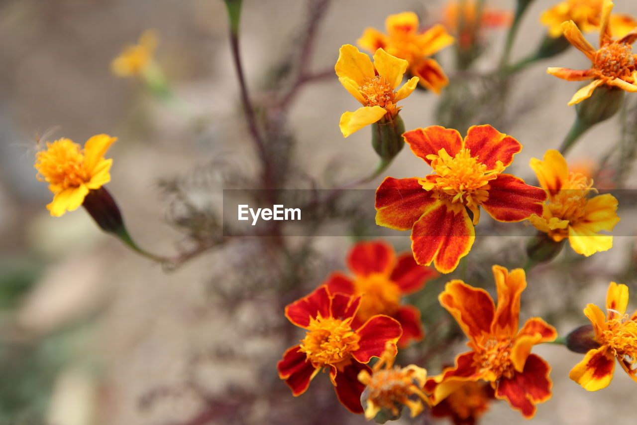 Close-up of orange marigold flowers blooming outdoors
