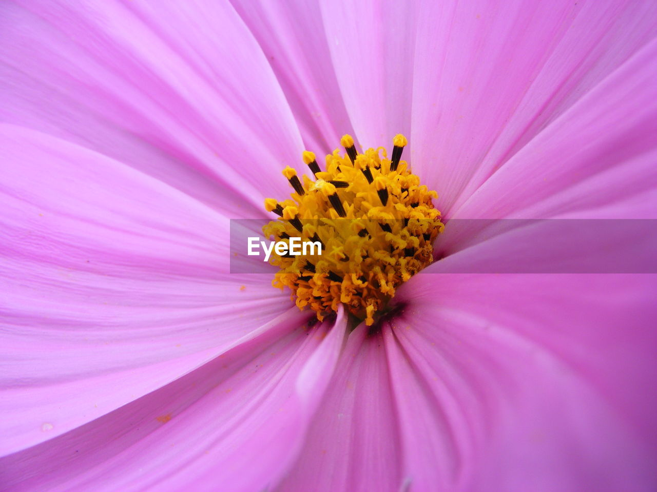 flower, petal, beauty in nature, yellow, fragility, flower head, nature, freshness, pollen, pink color, no people, growth, purple, plant, close-up, blooming, cosmos flower, backgrounds, full frame, day, outdoors