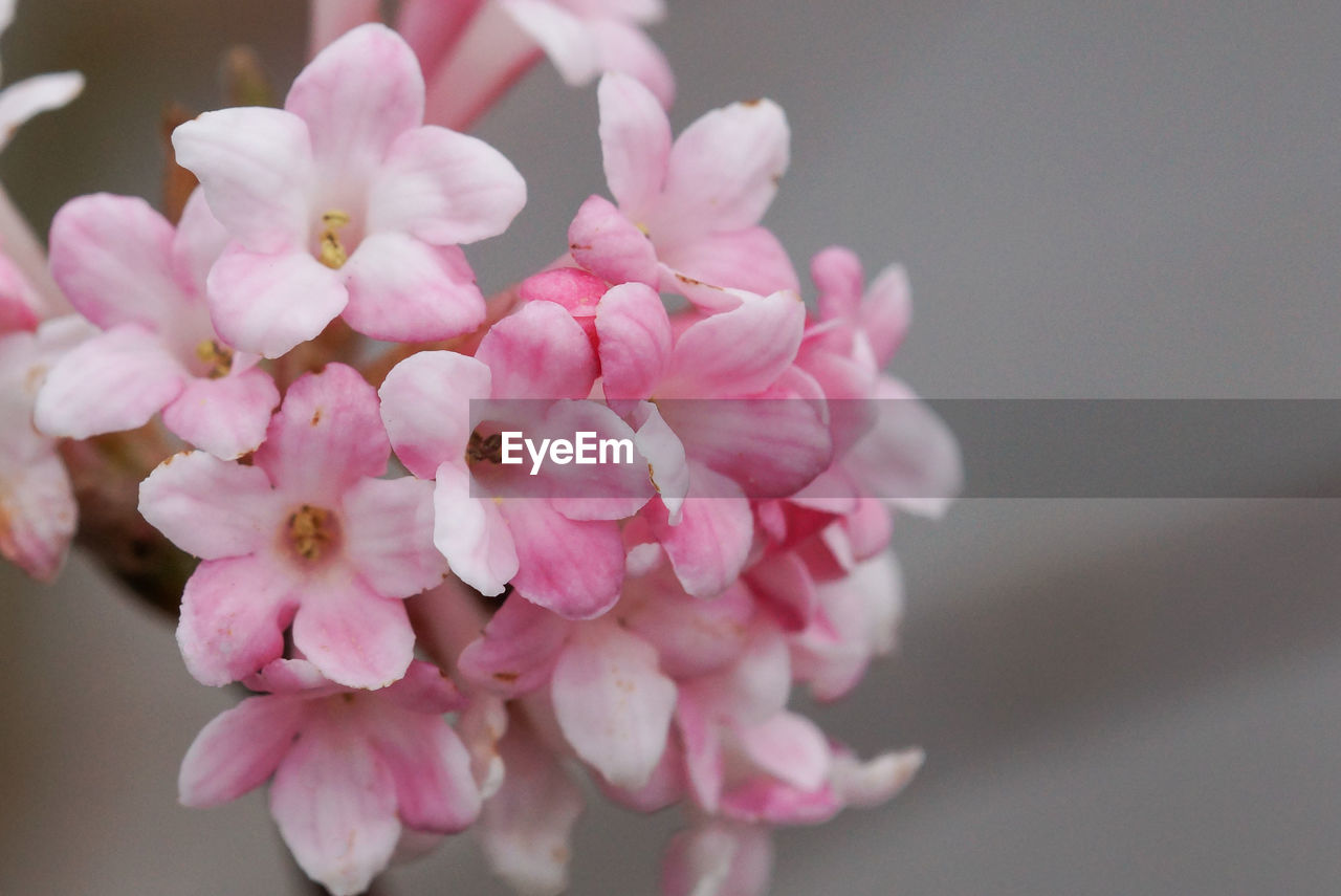 flower, pink color, beauty in nature, petal, fragility, nature, freshness, blossom, no people, close-up, growth, flower head, springtime, day, outdoors