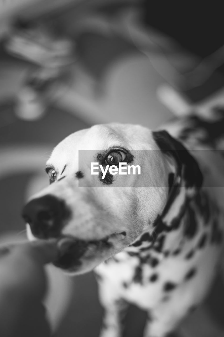 canine, dog, one animal, domestic, domestic animals, pets, animal themes, mammal, animal, vertebrate, looking, dalmatian dog, looking away, focus on foreground, no people, animal body part, selective focus, indoors, close-up, day, animal head, mouth open