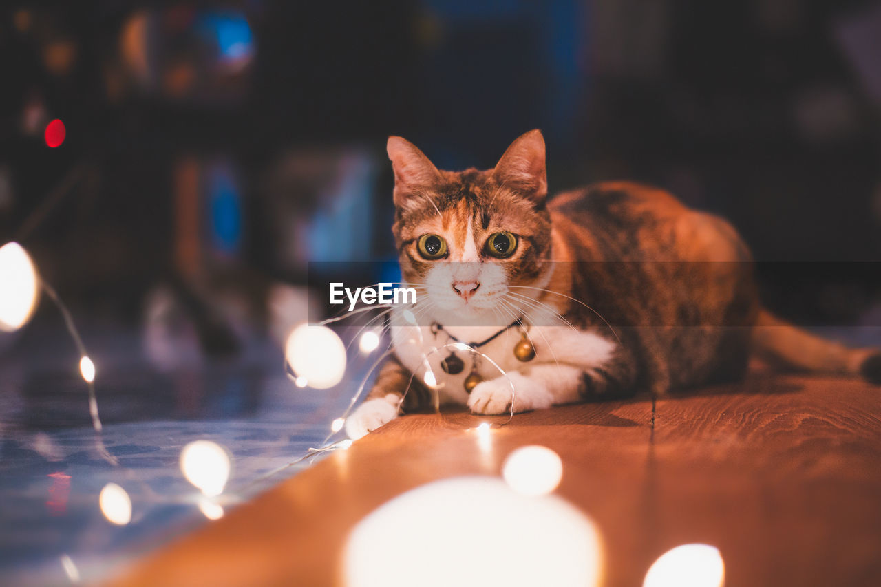 Portrait of cat with illuminated string lights on floor