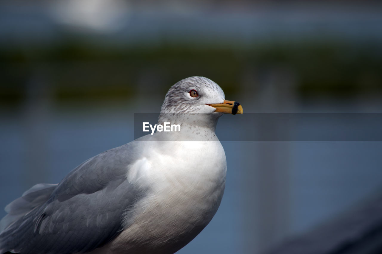 Close-Up Of Seagull