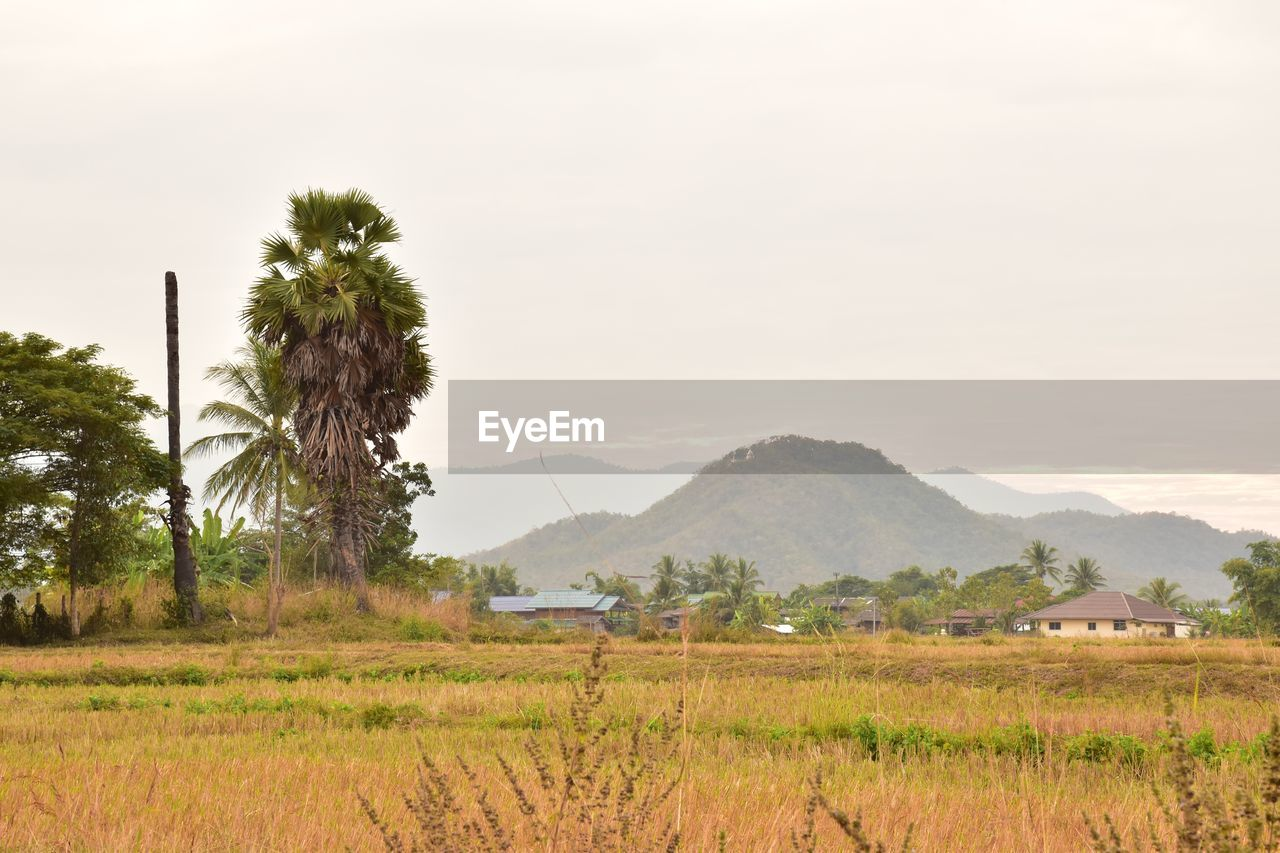 plant, landscape, tree, scenics - nature, mountain, environment, sky, field, land, tranquil scene, tranquility, beauty in nature, nature, rural scene, no people, mountain range, agriculture, palm tree, growth, tropical climate, outdoors