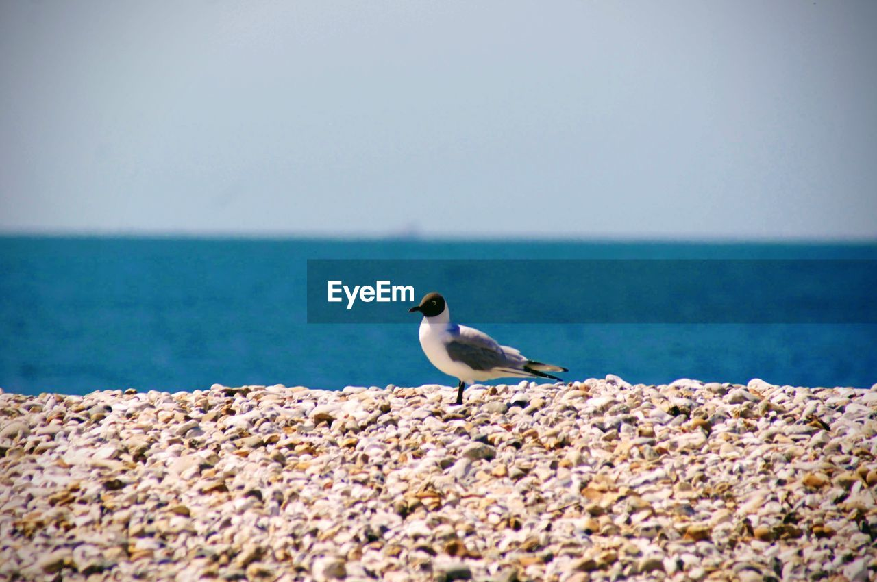 sea, horizon over water, water, sky, animals in the wild, one animal, horizon, animal, animal wildlife, bird, vertebrate, animal themes, day, beauty in nature, solid, rock, perching, scenics - nature, beach, no people, seagull