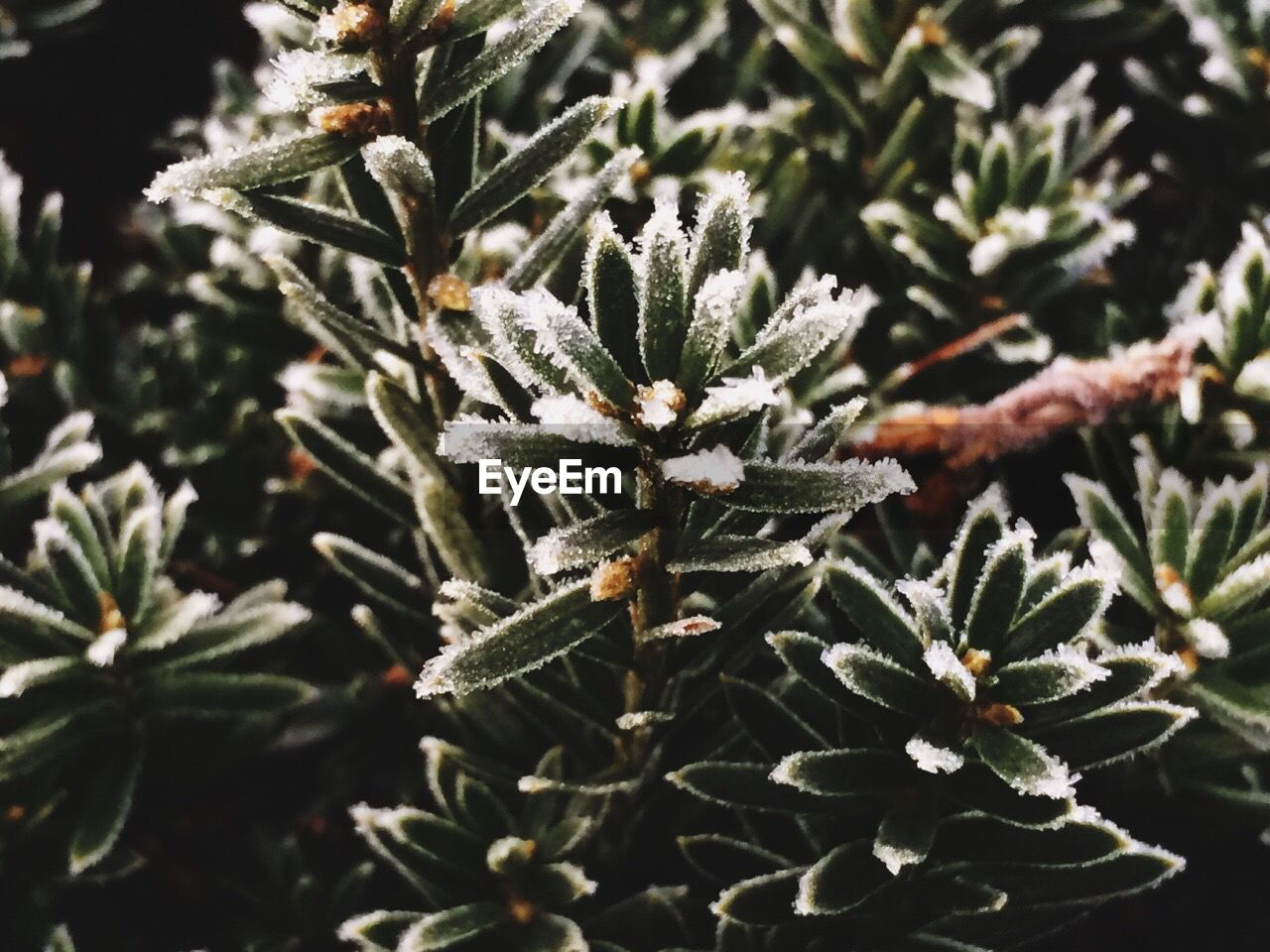 cold temperature, nature, winter, no people, snow, leaf, close-up, plant, frozen, beauty in nature, focus on foreground, growth, day, outdoors, needle, spruce tree, freshness