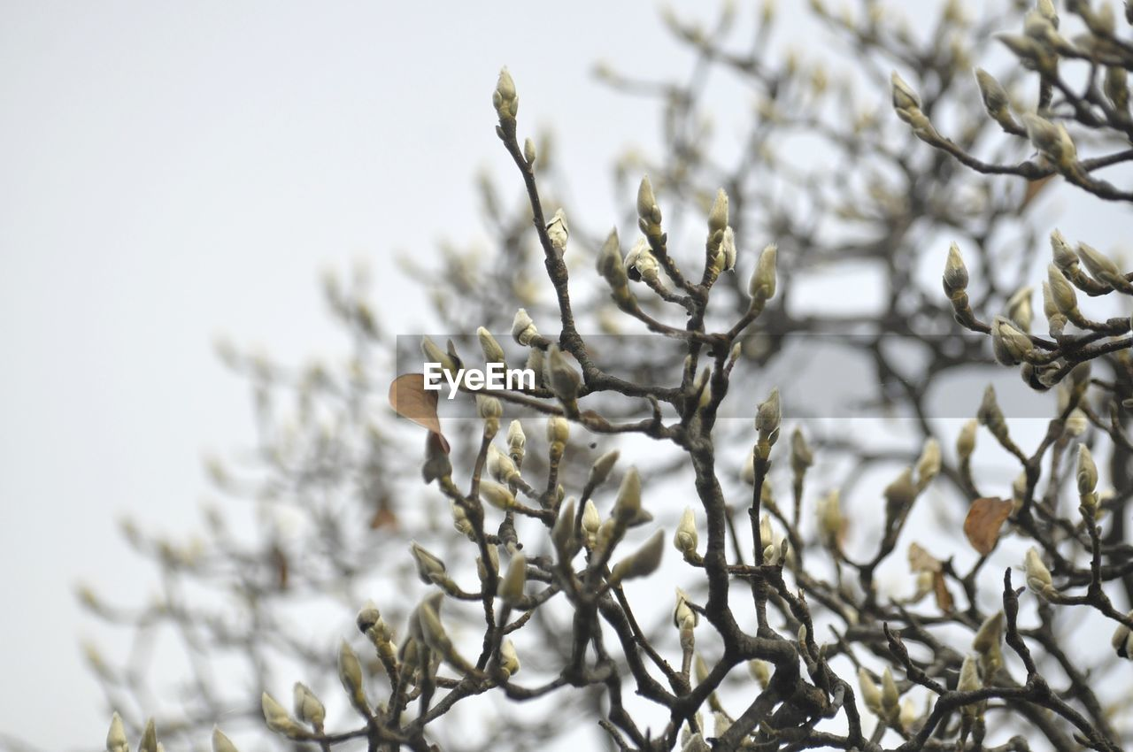 plant, growth, close-up, cold temperature, no people, beauty in nature, winter, nature, snow, sky, focus on foreground, day, tree, selective focus, tranquility, branch, pussy willow, flower, outdoors
