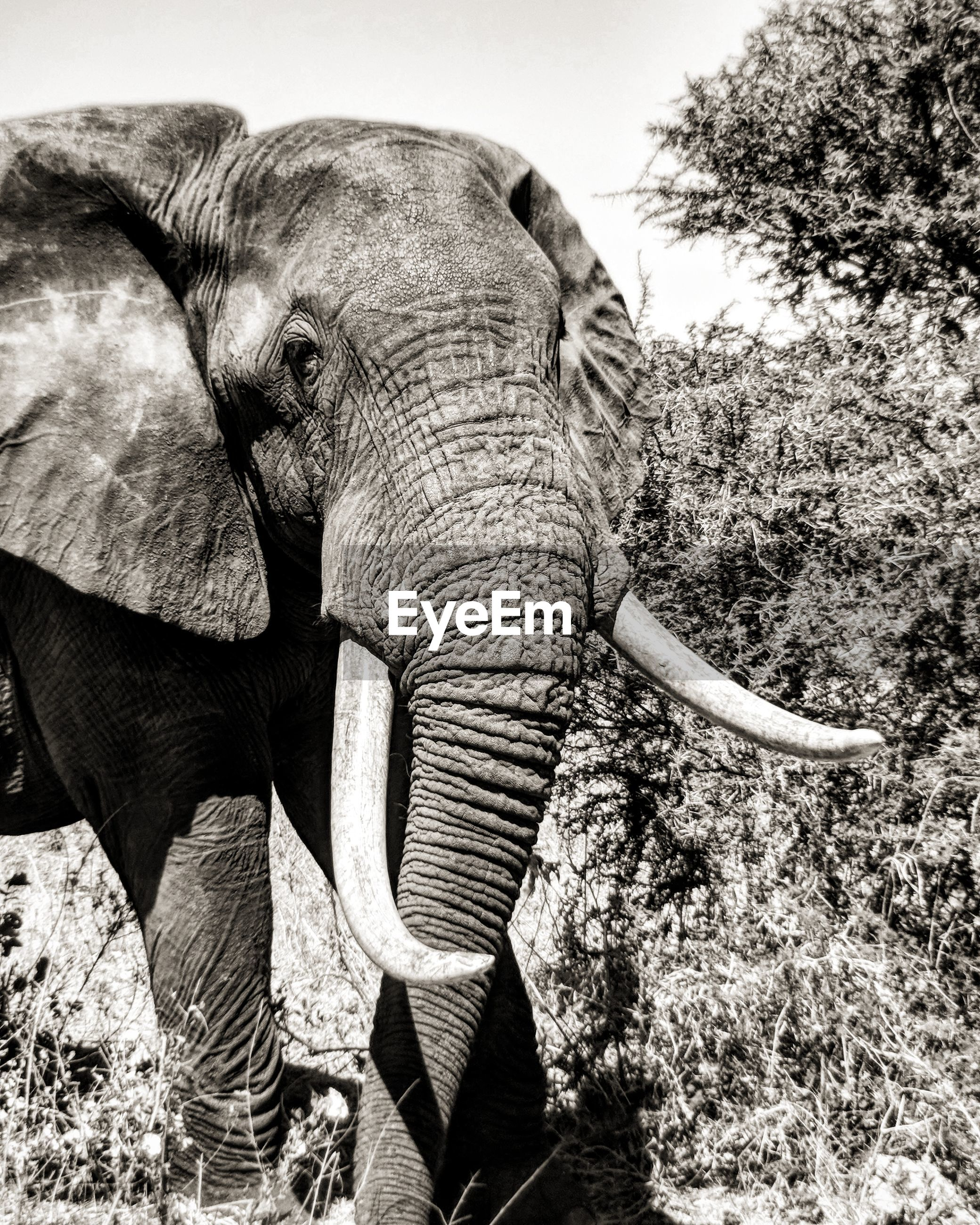 CLOSE-UP OF ELEPHANT IN FIELD