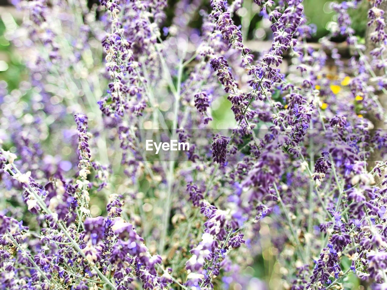 flower, flowering plant, plant, beauty in nature, growth, freshness, fragility, vulnerability, purple, lavender, close-up, no people, selective focus, day, nature, petal, field, land, lavender colored, outdoors, flower head, springtime