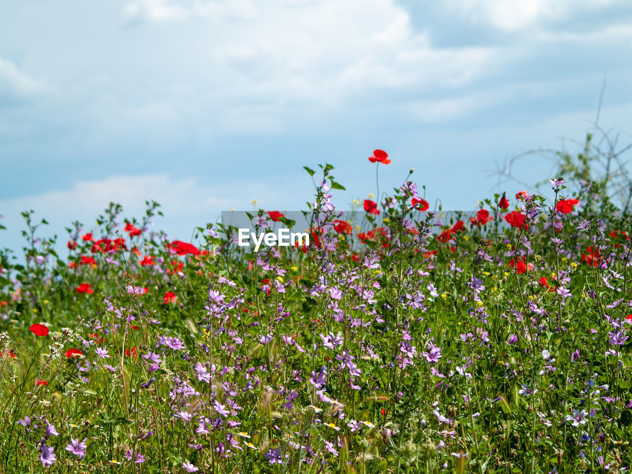flower, flowering plant, plant, vulnerability, fragility, red, growth, freshness, beauty in nature, land, sky, cloud - sky, nature, field, petal, day, poppy, flower head, no people, inflorescence, flowerbed