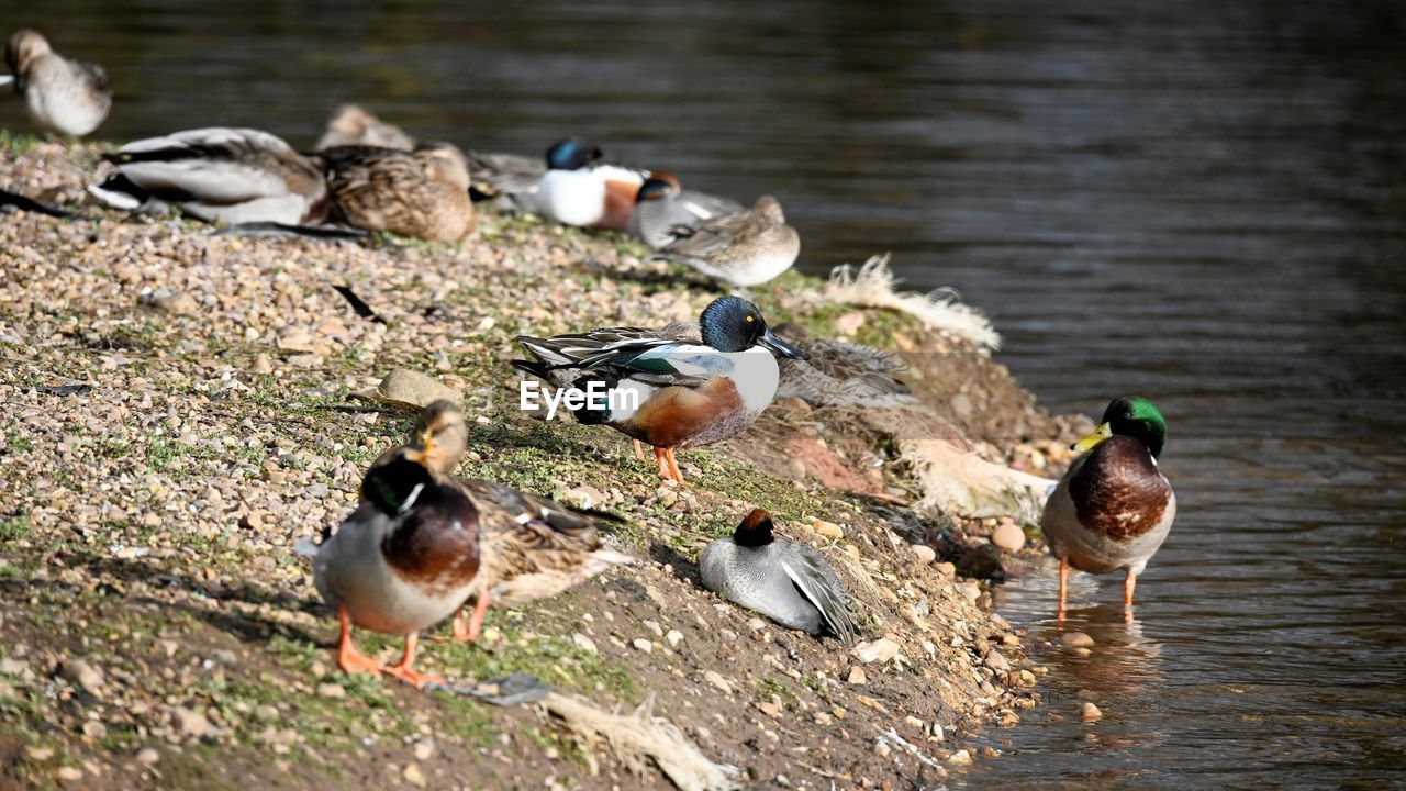 group of animals, bird, animal, animal themes, animals in the wild, animal wildlife, vertebrate, water, nature, lake, day, poultry, duck, no people, large group of animals, outdoors, mallard duck, focus on foreground, flock of birds