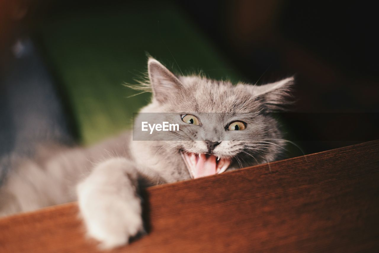 High Angle View Portrait Of Shorthair Cat Handing On Table