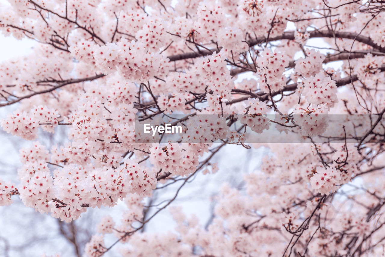 plant, tree, pink color, flower, flowering plant, branch, springtime, blossom, fragility, growth, beauty in nature, cherry blossom, freshness, cherry tree, vulnerability, nature, no people, day, close-up, backgrounds, outdoors, plum blossom, flower head