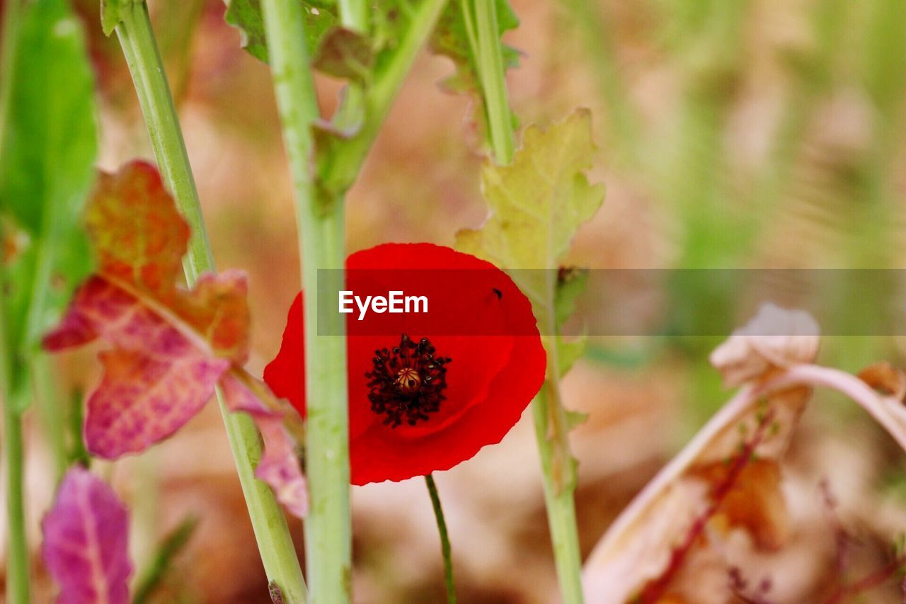 growth, plant, flower, nature, red, focus on foreground, beauty in nature, petal, fragility, close-up, day, no people, outdoors, flower head, freshness, poppy, blooming