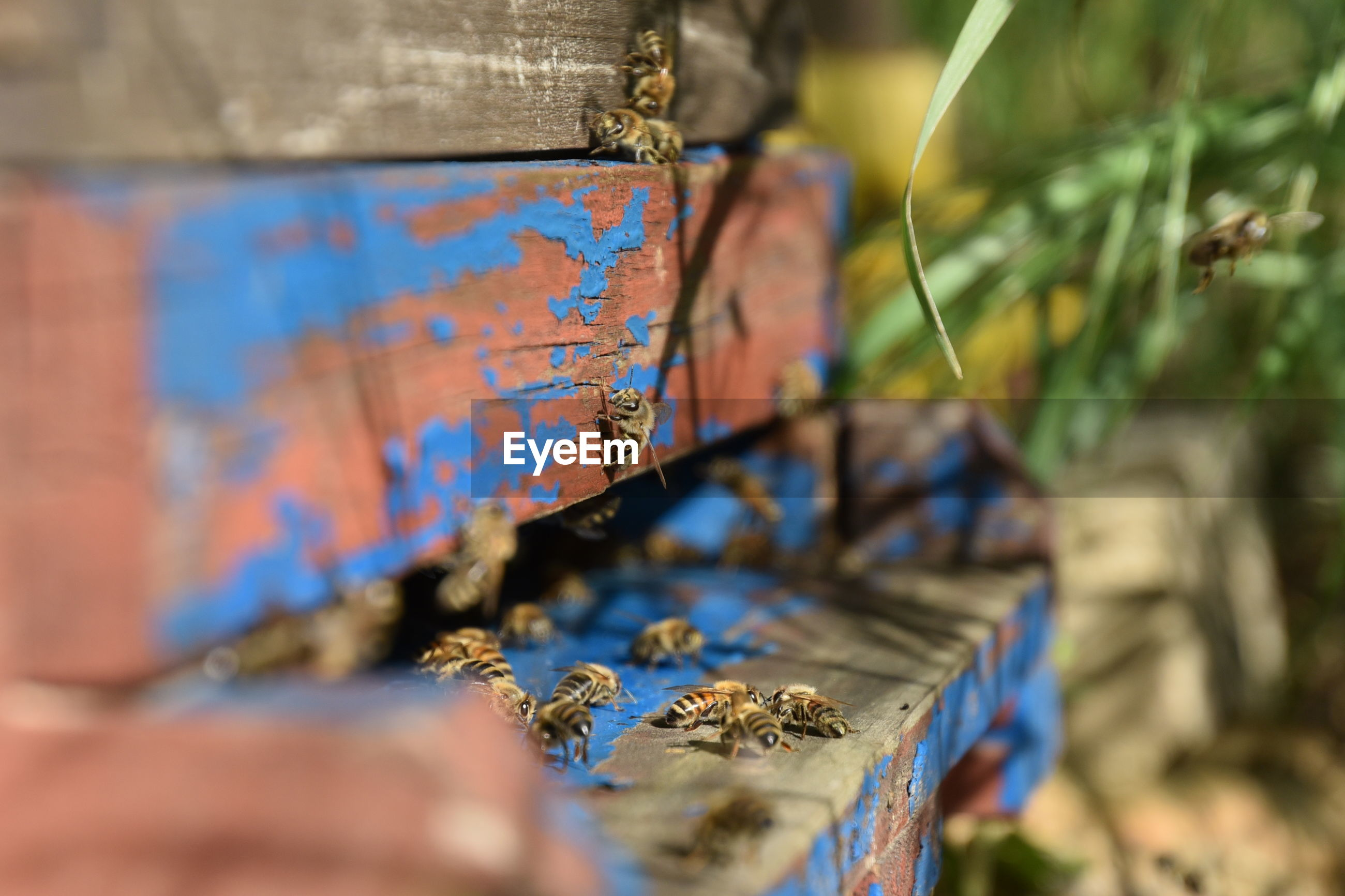 Close-up of honey bees on wood