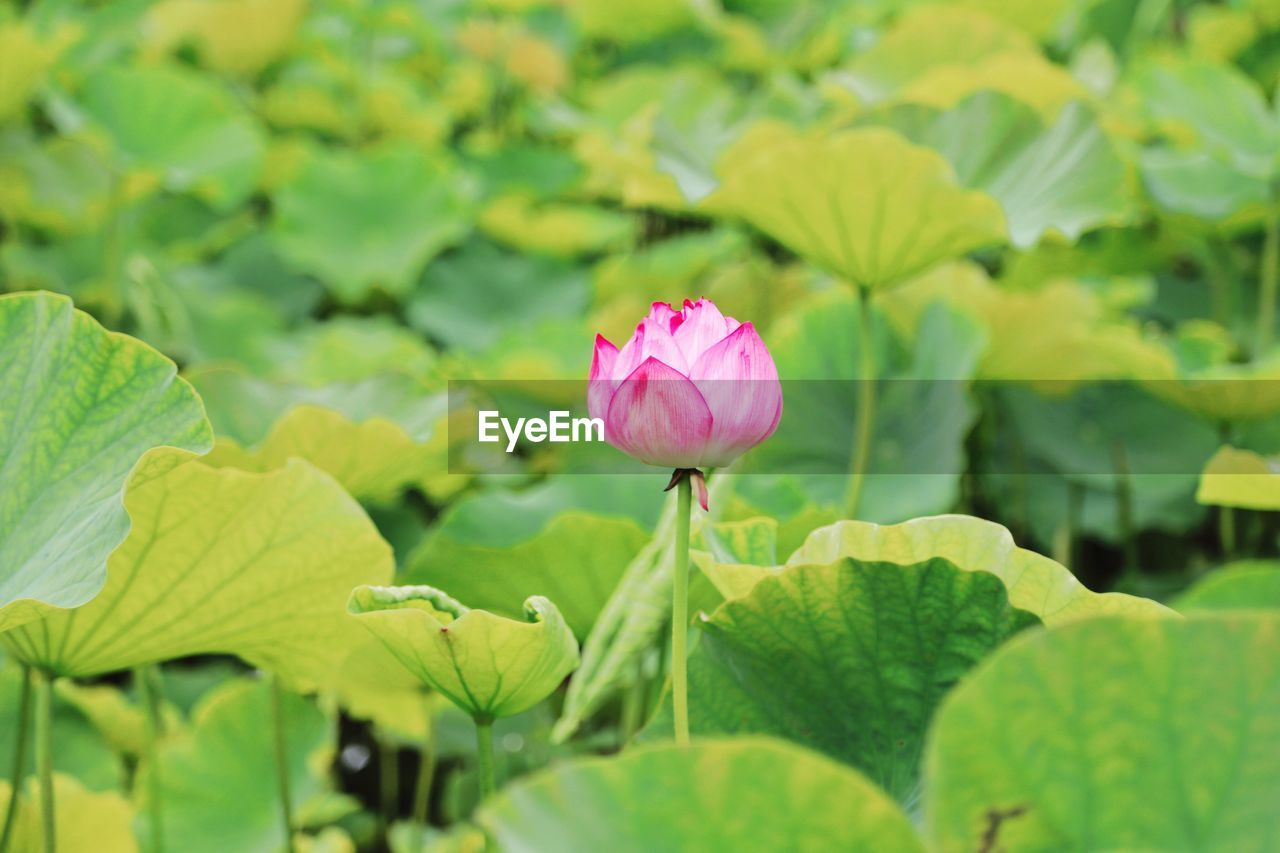 plant, beauty in nature, freshness, flowering plant, leaf, flower, plant part, growth, close-up, petal, vulnerability, green color, pink color, fragility, inflorescence, flower head, water lily, nature, lotus water lily, pond, no people, outdoors