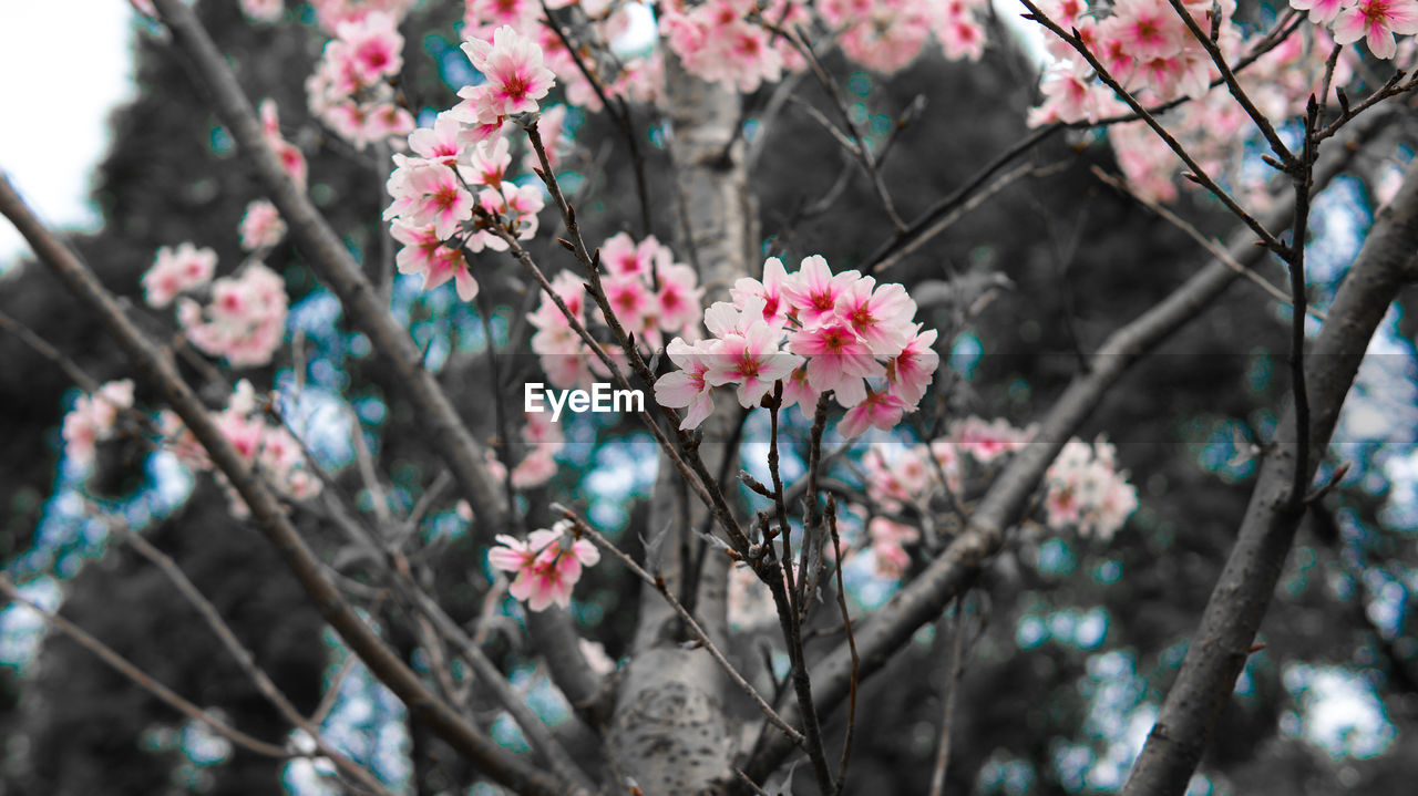 Low Angle View Of Cherry Blossom Blooming On Tree