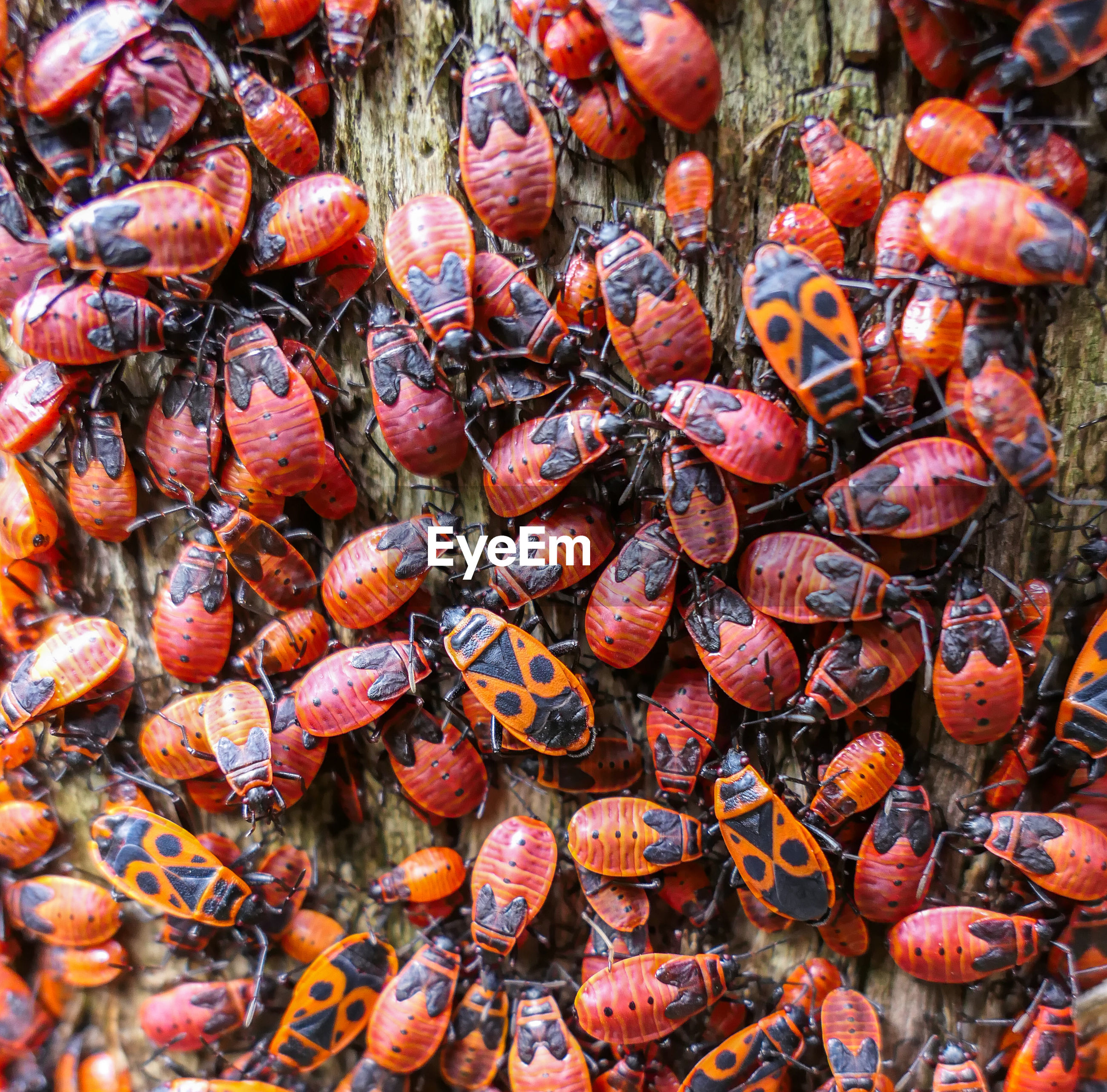 Red bugs eating old ill tree in summer