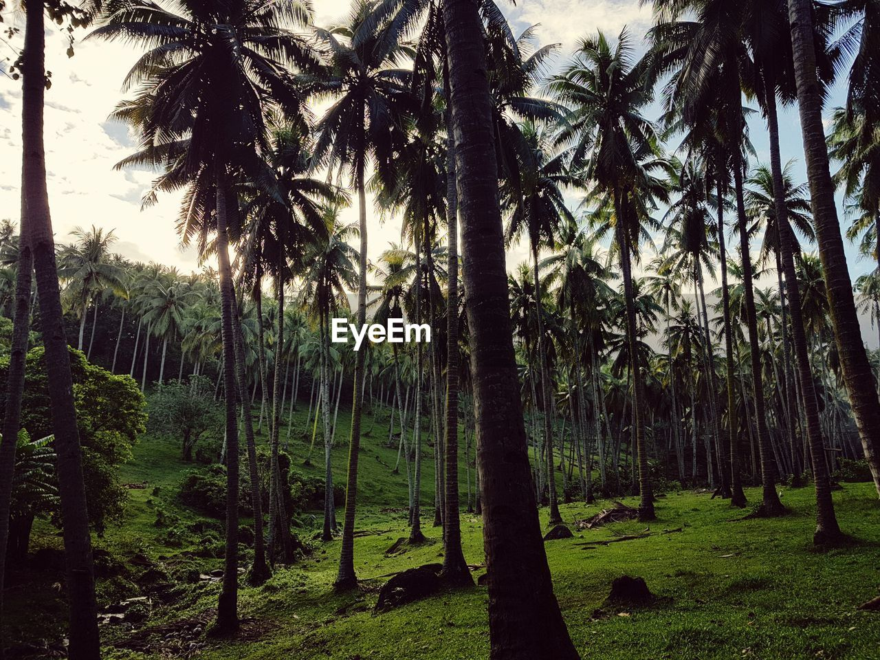 plant, tree, palm tree, land, tropical climate, growth, tranquility, beauty in nature, tree trunk, nature, trunk, tranquil scene, forest, no people, scenics - nature, sky, day, field, outdoors, grass, woodland, coconut palm tree, treelined, palm leaf