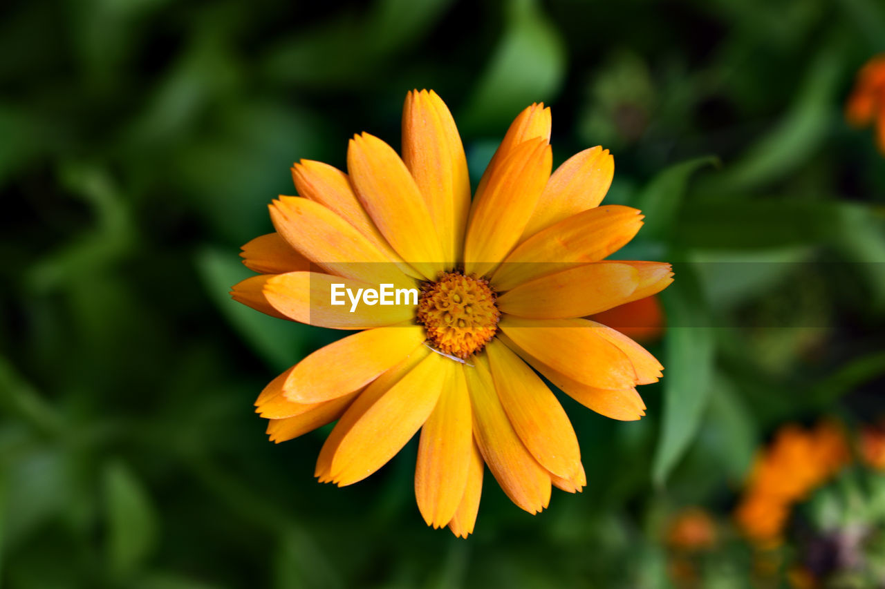 flowering plant, flower, fragility, petal, plant, vulnerability, flower head, freshness, inflorescence, beauty in nature, yellow, growth, close-up, focus on foreground, orange color, pollen, nature, day, no people, gazania