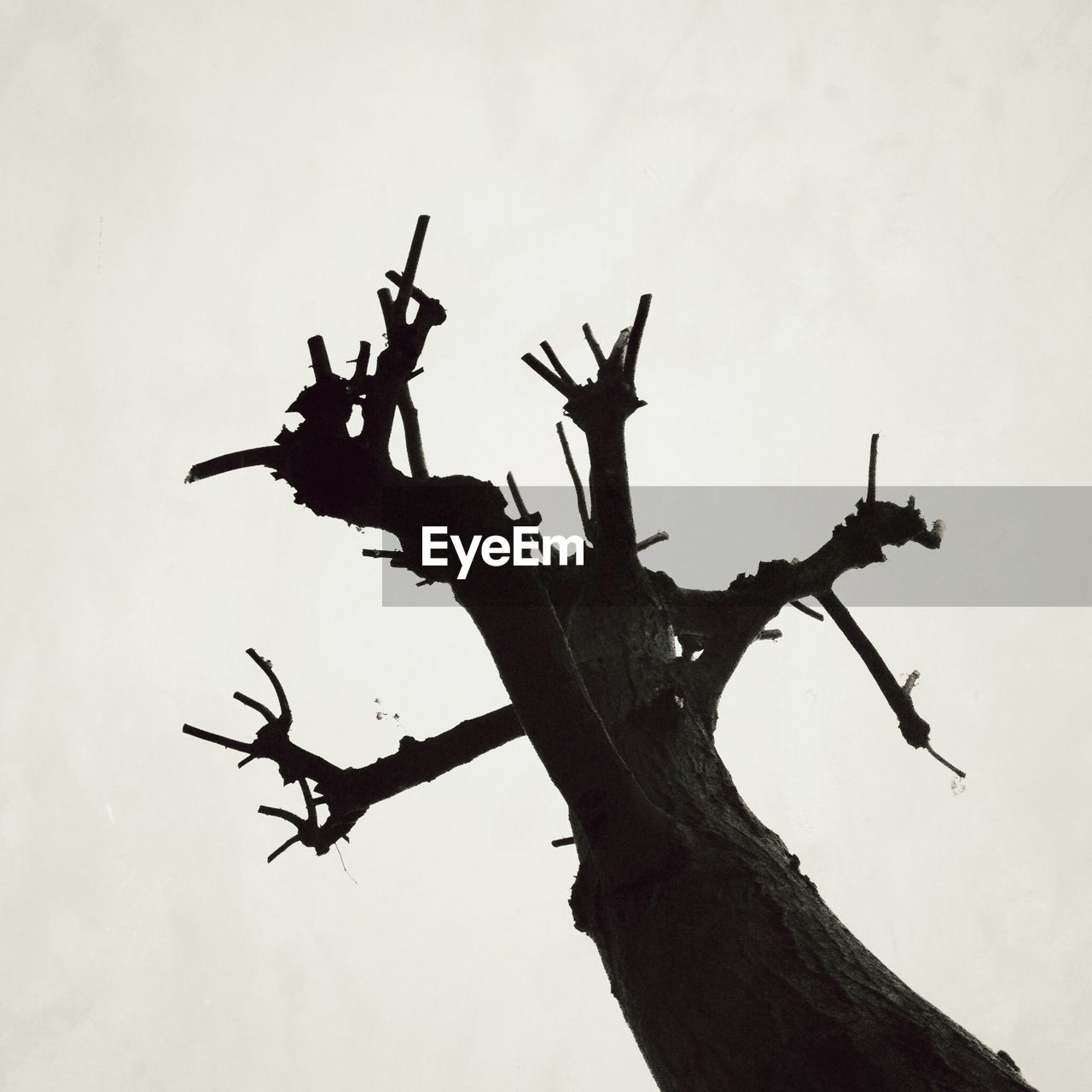 silhouette, no people, branch, low angle view, outdoors, nature, clear sky, dead tree, tree, day, white background, sky, close-up, animal themes