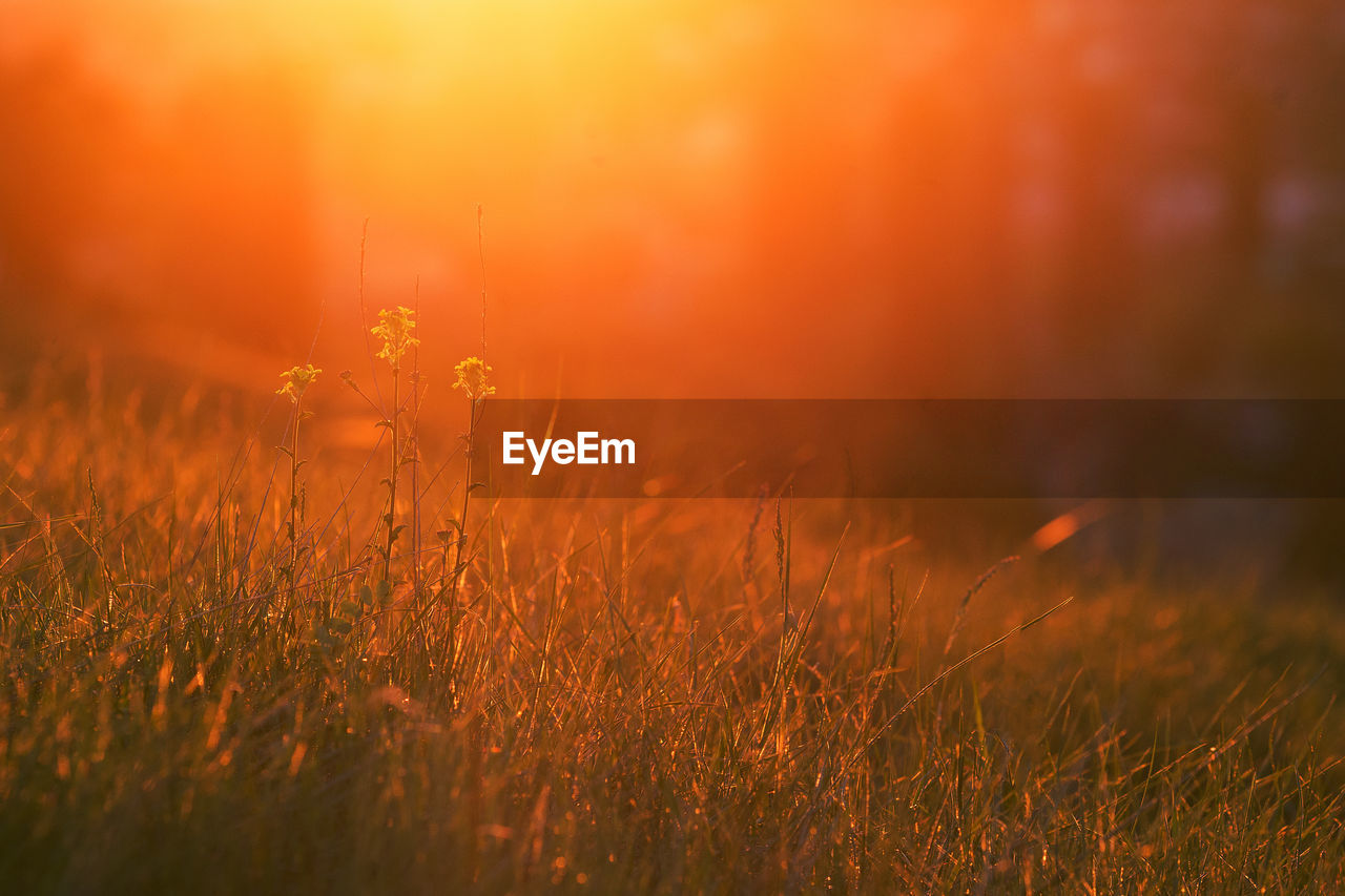 Sunset. grass and flowers in bright warm rear light . copy space. spring, may