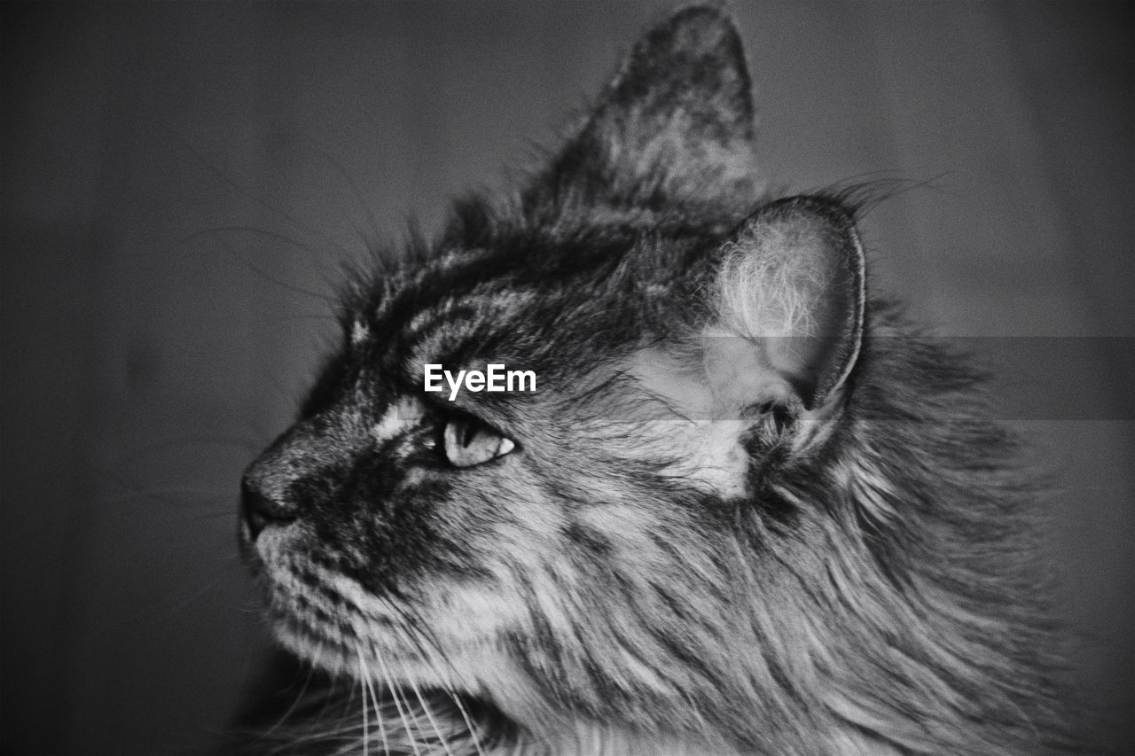 one animal, animal themes, animal, mammal, cat, domestic animals, feline, pets, domestic, domestic cat, close-up, looking, vertebrate, indoors, looking away, no people, whisker, focus on foreground, animal body part, animal head, maine coon cat, animal eye