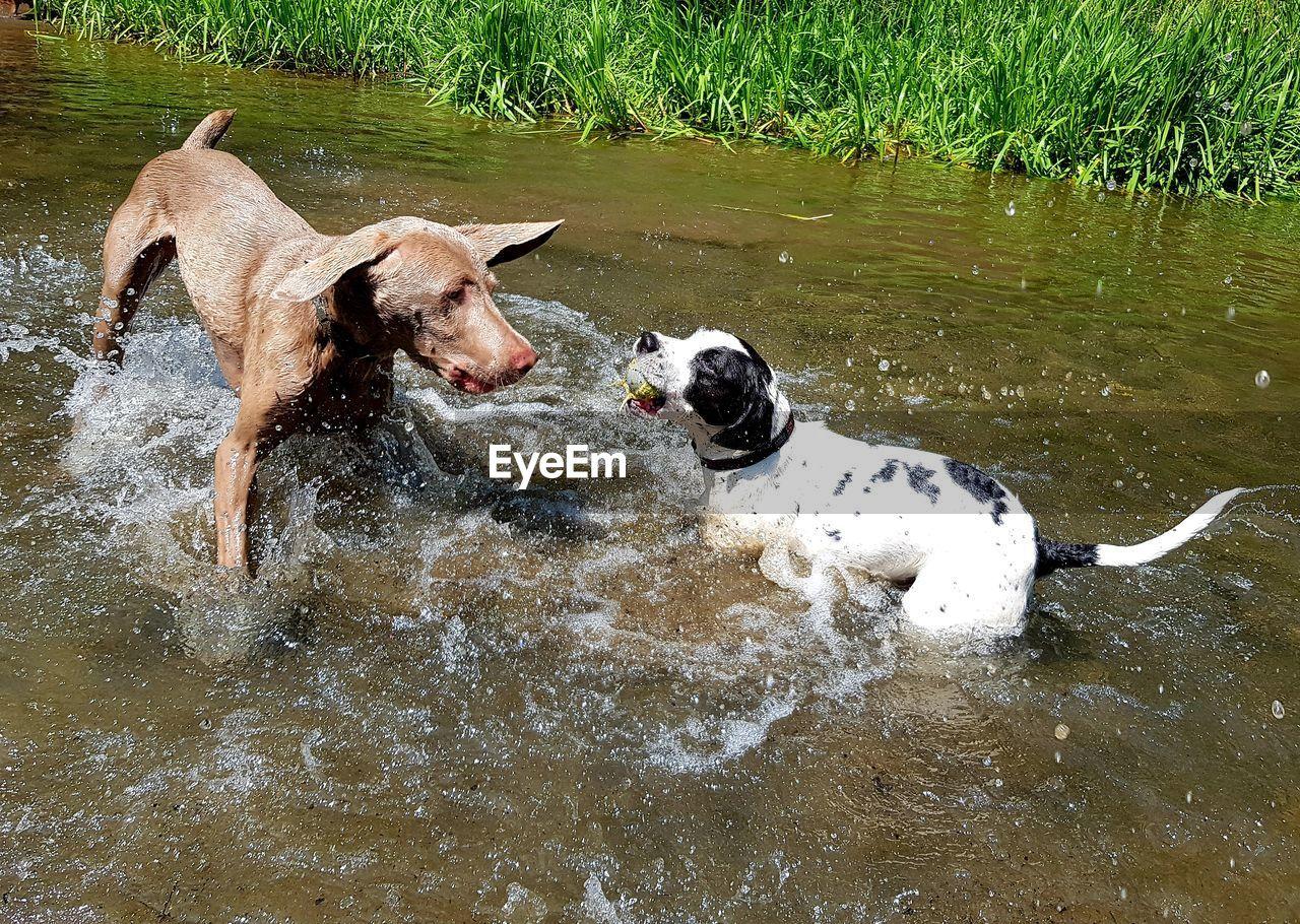 pets, domestic, mammal, domestic animals, animal themes, canine, dog, animal, water, vertebrate, motion, one animal, running, waterfront, day, lake, splashing, no people