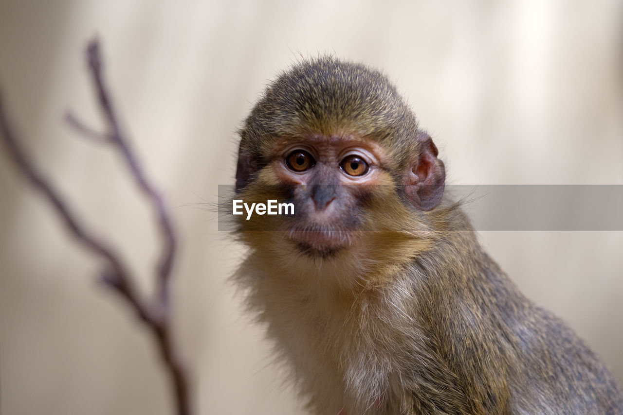 primate, mammal, animal wildlife, animals in the wild, one animal, vertebrate, focus on foreground, no people, close-up, day, looking, looking away, portrait, nature, outdoors