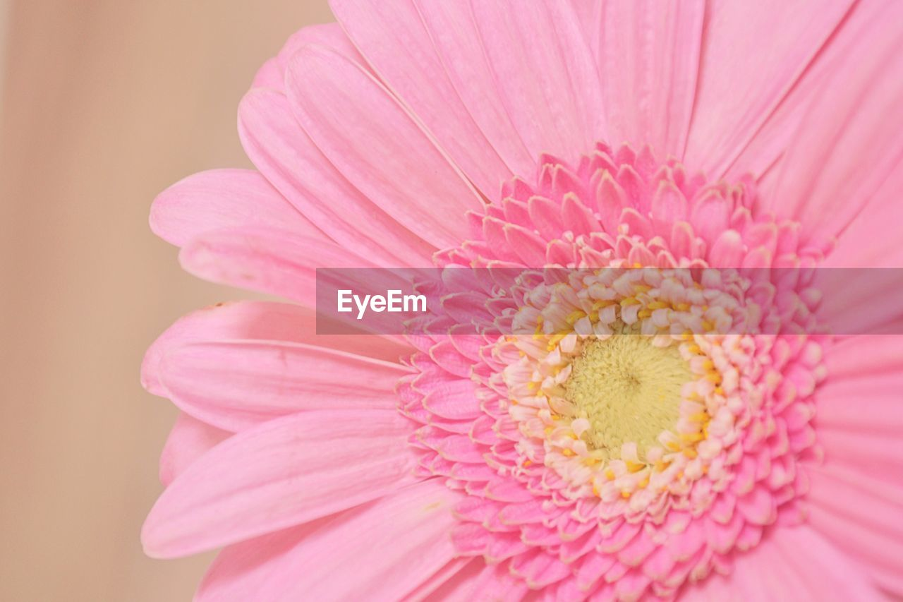 Close-Up Of Gerbera Daisy