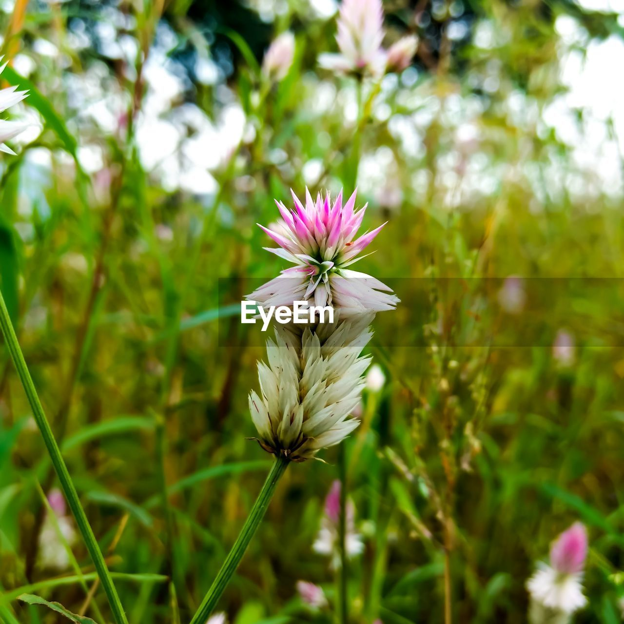 flower, fragility, nature, petal, flower head, growth, beauty in nature, freshness, plant, blooming, day, outdoors, no people, focus on foreground, close-up, grass, crocus
