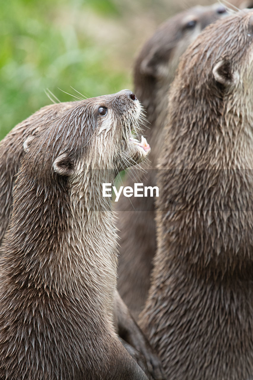 animal themes, animal, animals in the wild, animal wildlife, mammal, group of animals, two animals, vertebrate, focus on foreground, no people, day, close-up, togetherness, bear, outdoors, nature, zoology, animal body part, animal head, animal family, whisker