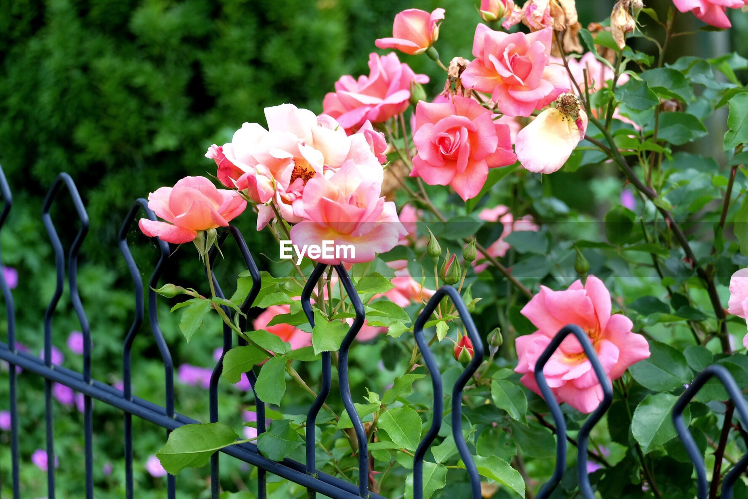 Pink roses blooming in park