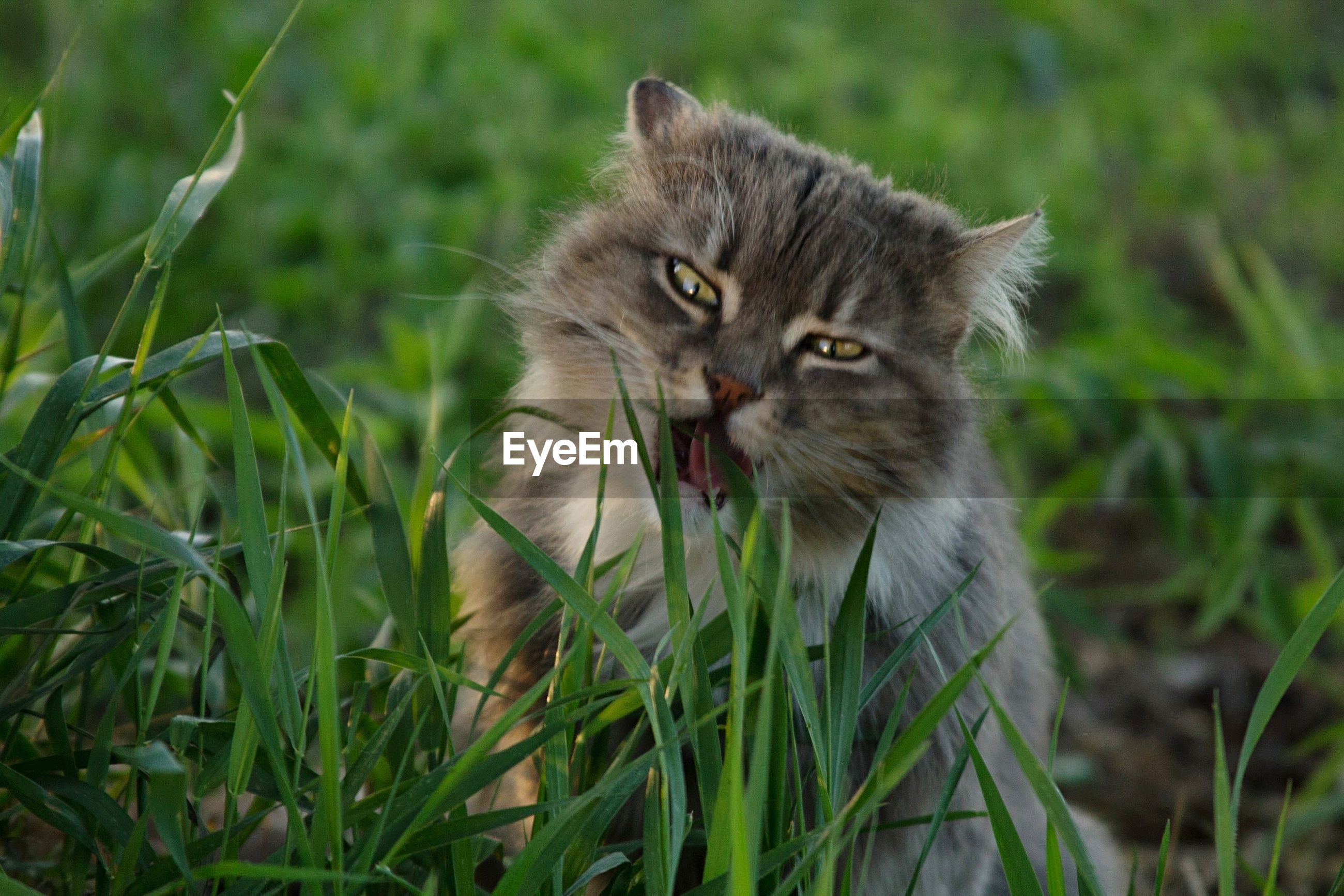 animal themes, one animal, grass, mammal, field, focus on foreground, wildlife, pets, portrait, animals in the wild, close-up, whisker, domestic cat, looking at camera, grassy, plant, sitting, domestic animals, nature, feline